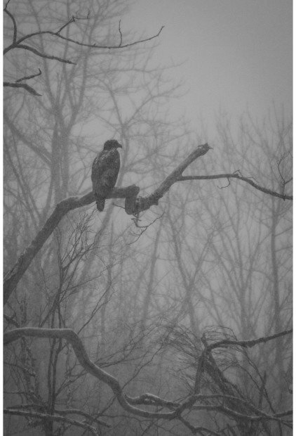 """April Snow – Immature Bald Eagle, Killbear"" – Jonathan Mahood"