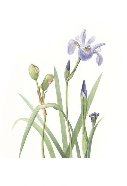 Bert Liverance – Wild Iris